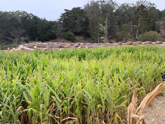 Arata's Pumpkin Farm corn field and hay maze