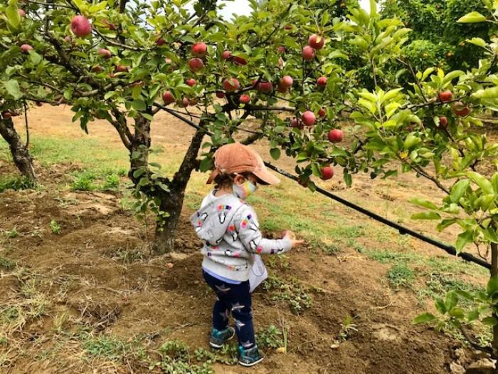 Apple-Picking -Gabriel-Farm-Sebastopol