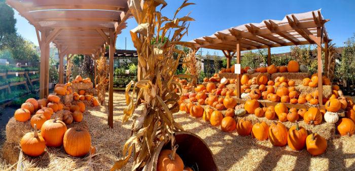 small pumpkin patch