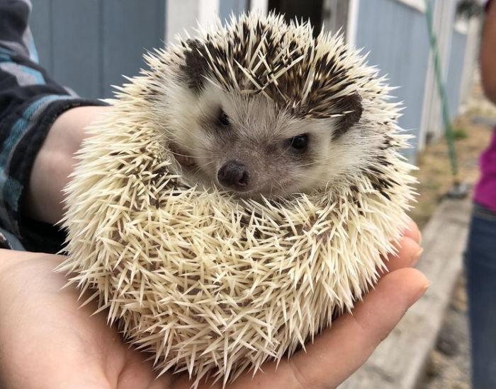 hedgehog in hands