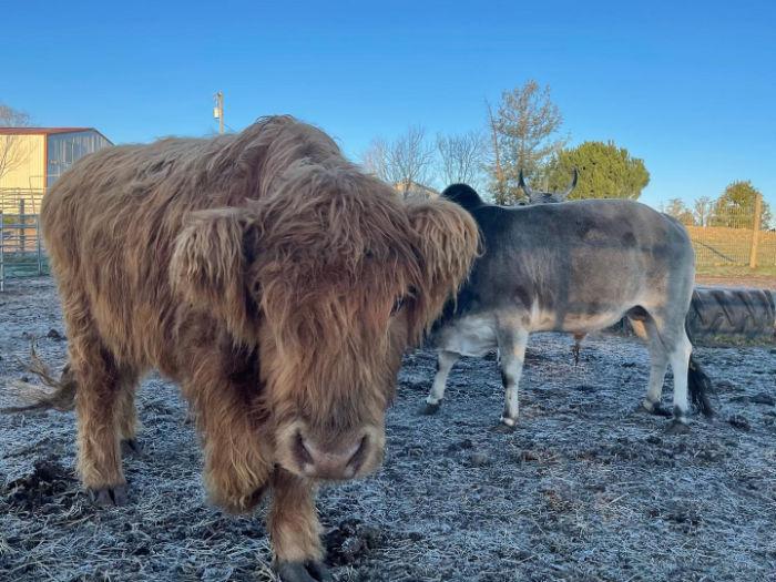 scottish highland cattle named cowboy