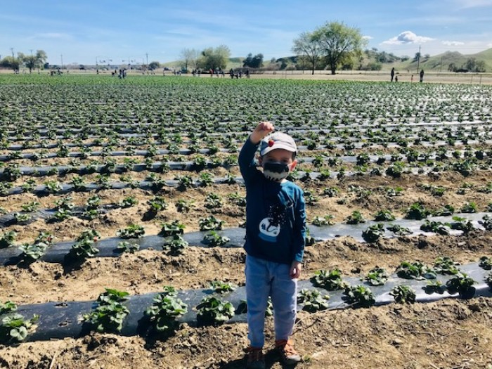 Strawberry-Picking-Brentwood