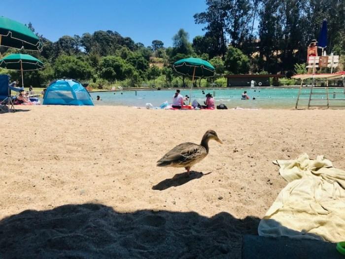 duck walking on beach