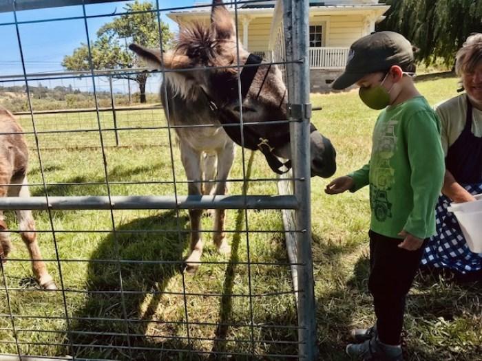 child feeding donkey