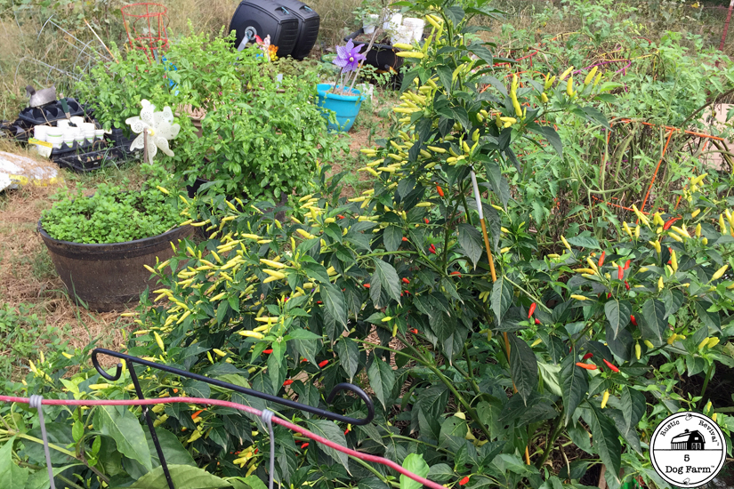 peppers growing in garden 5DogFarm
