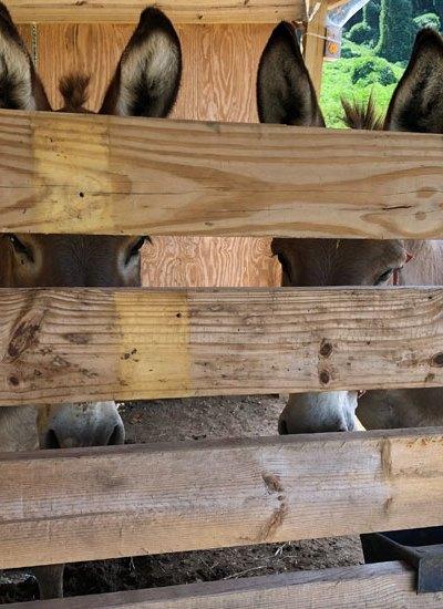 donkeys looking through partition 5 Dog Farm