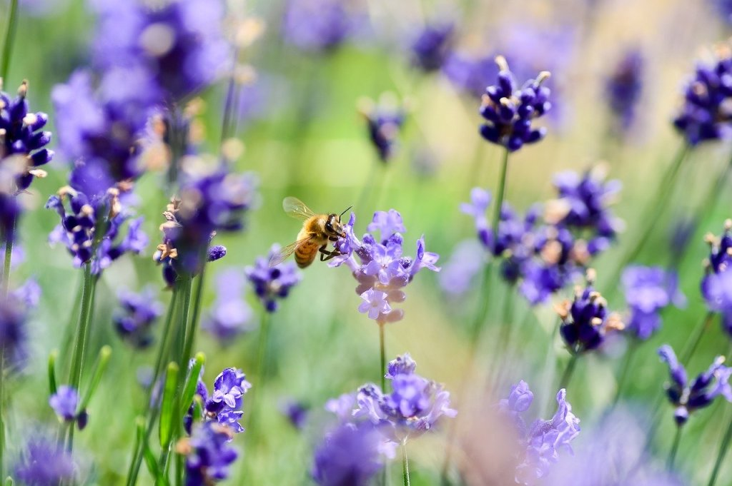 bee upclose on lavendar