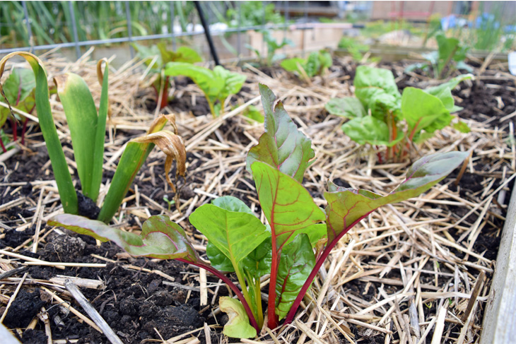 swiss chard growing in raised bed