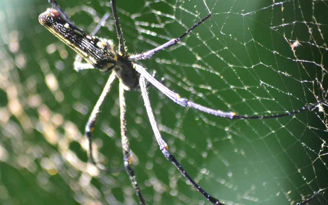 Nesta – a spider story