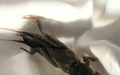 Mole Cricket – the trumpet singer