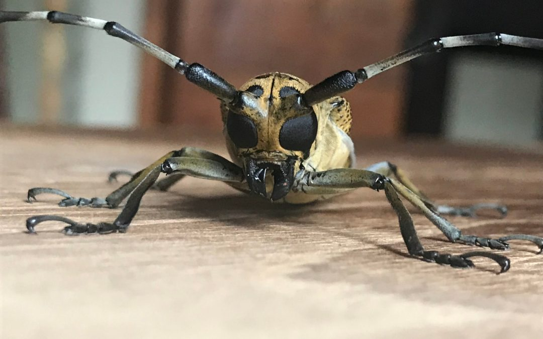 Long-horn a beautiful beetle story