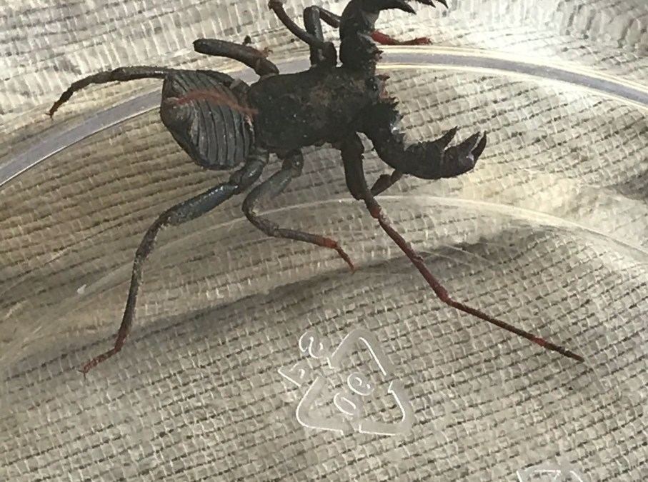 Whip Scorpions look scary but don't sting