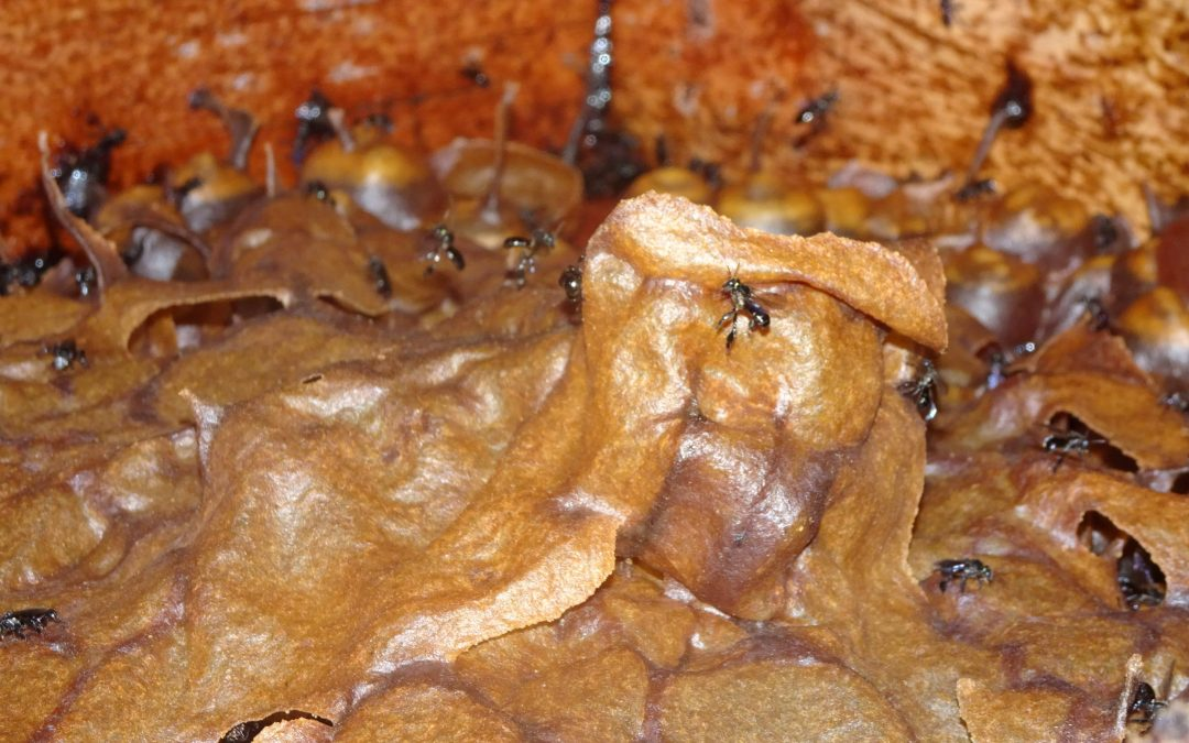So there is such a thing as a stingless bee – great!