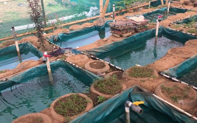 Aquaponics  – the magic art of growing freshwater fish and productive plants together