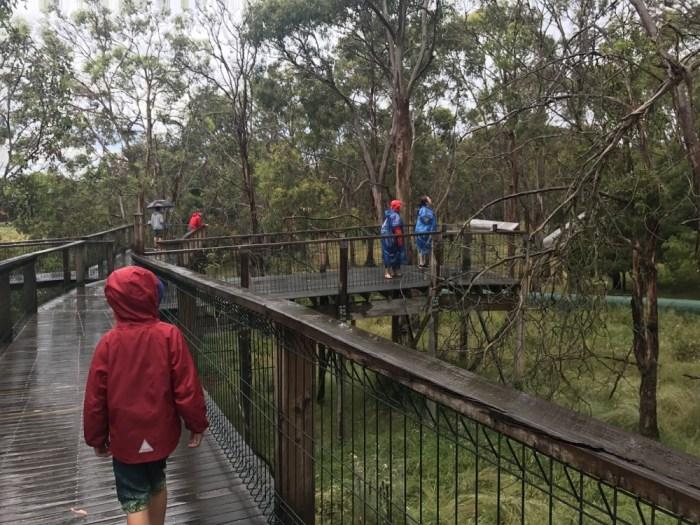 Koalas Phillip Island