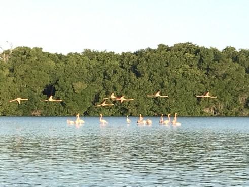 flamingos Celestun