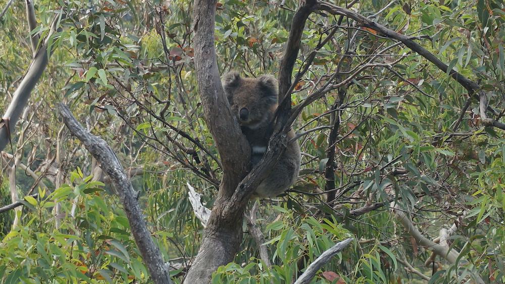 Koala Sleeping 1