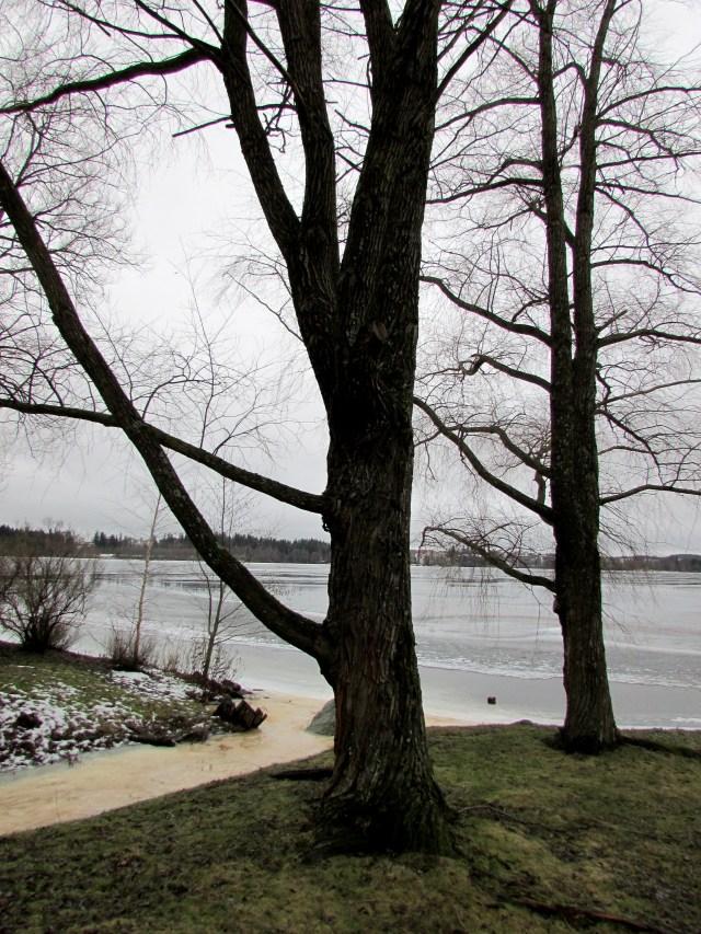 Kuva 7 - Molempien kuvissa näkyvien puiden alaoksille (kaksi alinta) olisi vielä maastoluokitukseltaan 3.5. Ylemmäksi nouseminen saattaisi jo olla luokitukseltaan 4.