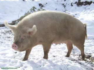 Bir adet domuz