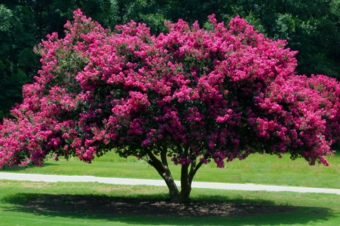 Crepe myrtle tree on landscaped yard in Alpharetta Ga