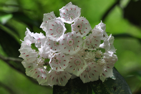 Mountain laurel flowering shrub in Alpharetta Ga garden