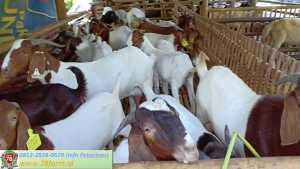 Workshop Peternakan Kambing Modern Yogya