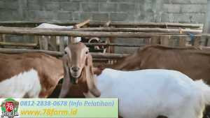 Workshop Ternak Kambing Modern Jogja