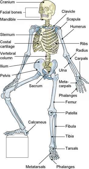 Divisions of the Skeleton  Medical Terminology