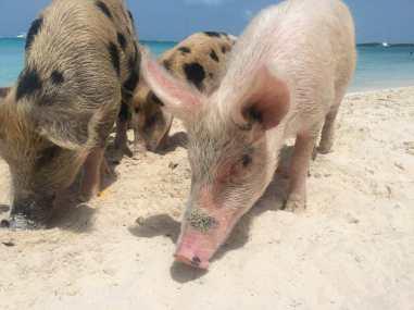 Porcos de todos os tipos e tamanho na Praia dos Porcos, Bahamas.