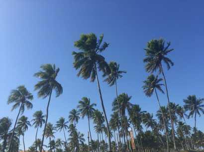 Endless coconut trees at Praia do Forte.