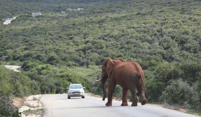Você verá vários hartbeests no Parque Nacional Addo Elephant, África do Sul.