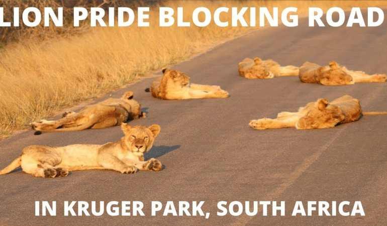 Lion Pride Blocking Road in Kruger National Park