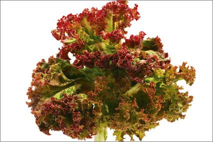 Rød krølsalat