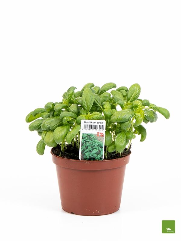Basilikum Grøn