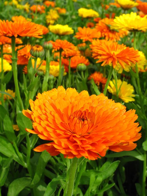 Morgenfrue Orange