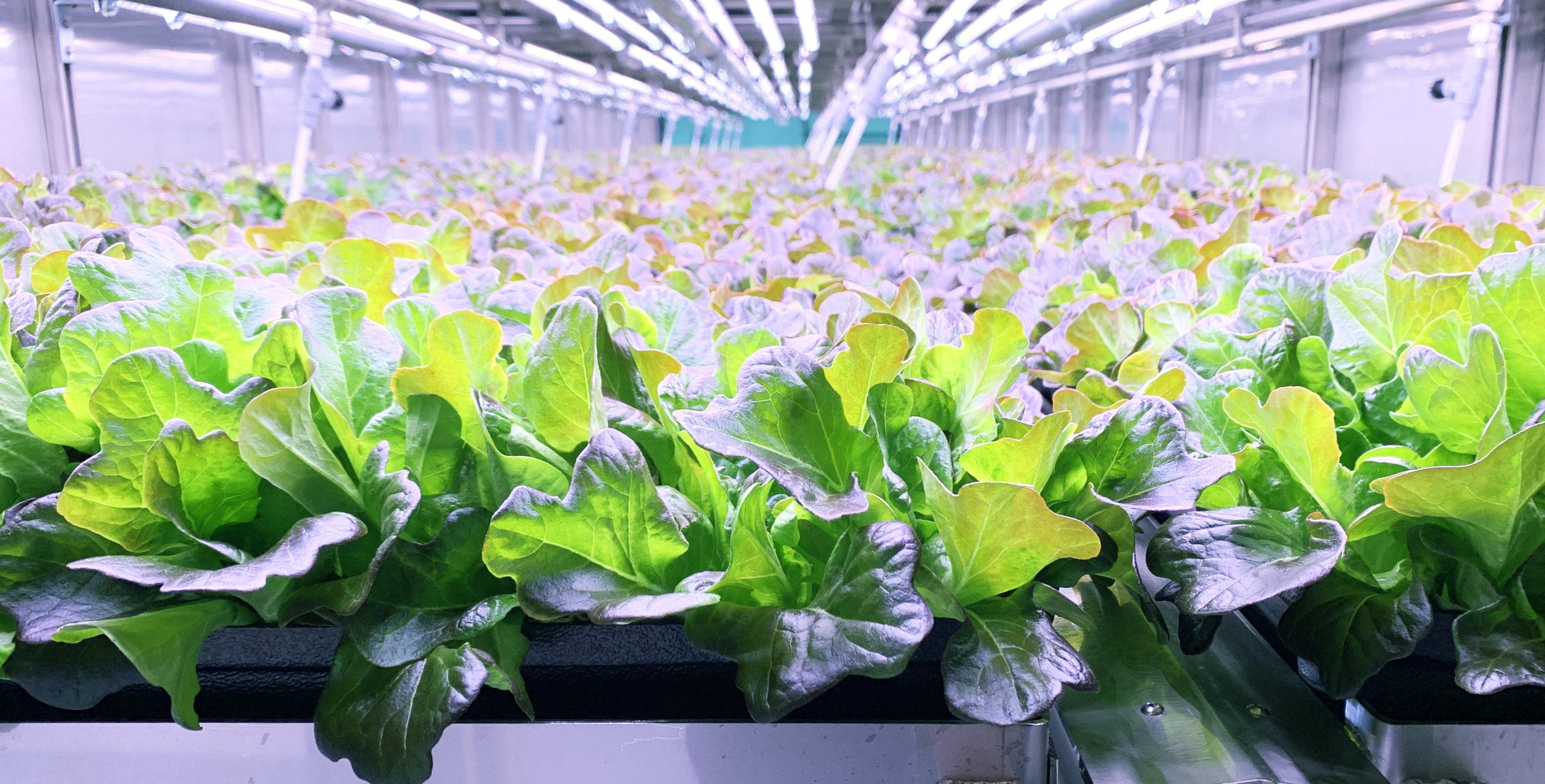 80 Acres Farms Leafy Greens in Indoor Farm