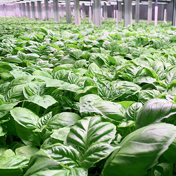 80 Acres Farms all about that BASIL herb