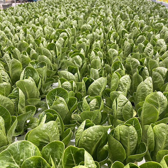 80 Acres Farms Romaine Calm