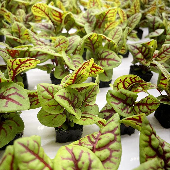 80 Acres Farms Spring Break Leafy Greens