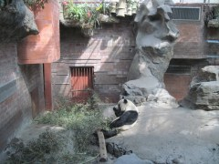 Pandas at the Beijing Zoo (only 75 cents admission!)