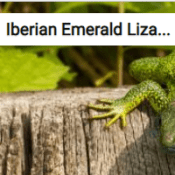 Iberian Emerald Lizard Jigsaw Puzzle Game