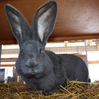 Как выглядит кролик? Немецкий ризен