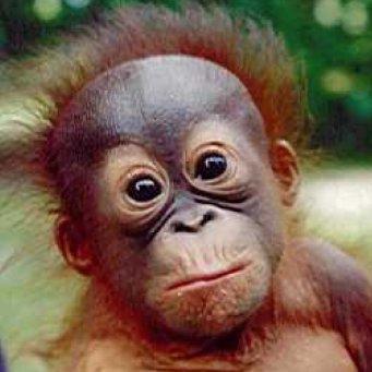 Человекообразная обезьяна - орангутан