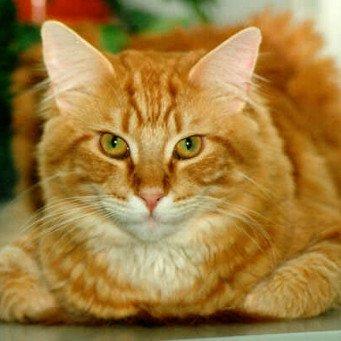 Как правильно кормить стерилизованную кошку?