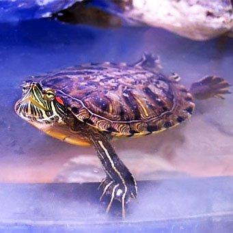 Как оборудовать террариум для водных черепах
