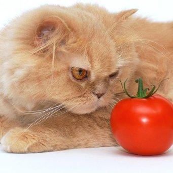 Как правильно кормить персидскую кошку?