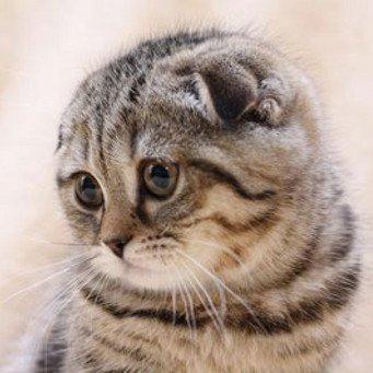 Как правильно кормить шотландскую кошку?
