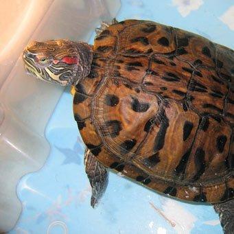 Как сделать аквариум для черепах?