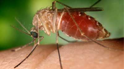 west_nile_mosquito_400_1434476737016.jpg