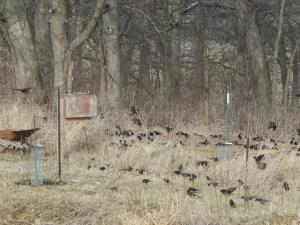 starlings2